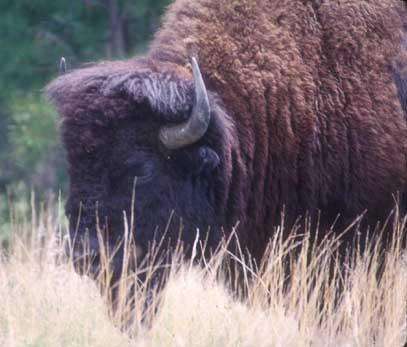 Indian Gaur – Largest species of wild cattle | Walk the Wilderness