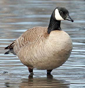 what is a lesser canada goose