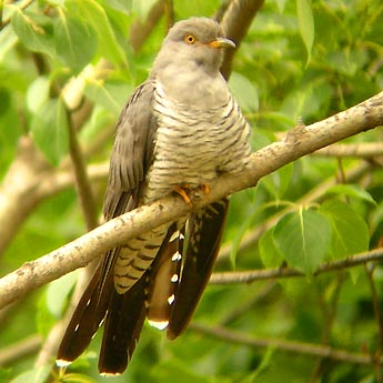 Gowk or Common Cuckoo