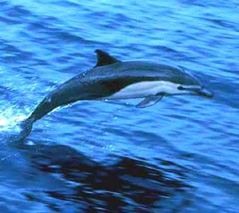 http://creagrus.home.montereybay.com/Dolphin_shortbeakcomm-baja.jpg
