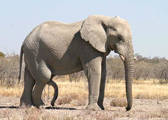 elefant penis ben