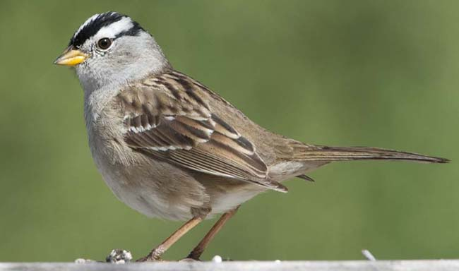 Puget Sound & Gambel's White-crowned Sparrows