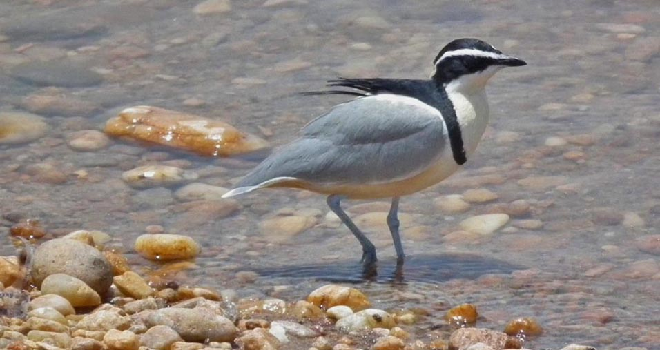 The Egyptian Plover And The Crocodile