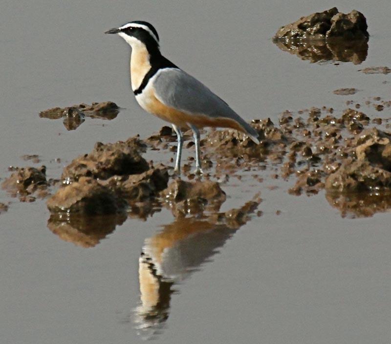 Egyptian plover bird and crocodile - photo#7