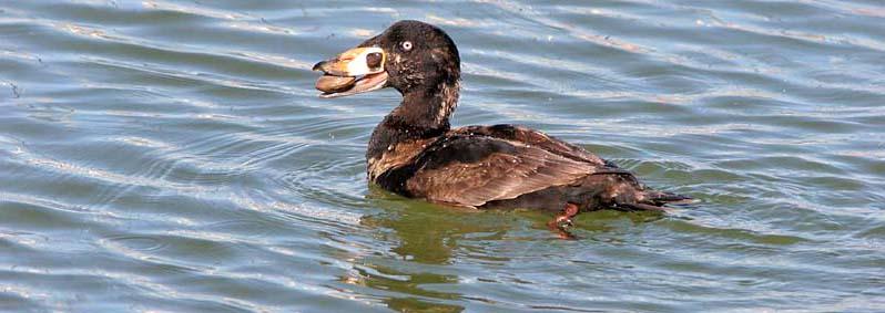 ducks geese swans family anatidae