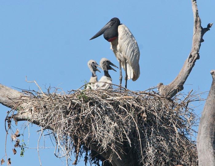 stork family ciconiidae