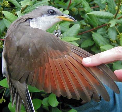 North America Has Two Widespread And Migratory Species Yellow Billed Cuckoo Of Both Eastern Forests Southwestern Riparian Corridors