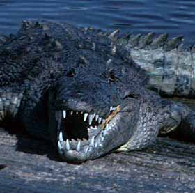 crocodile amer1 Costa Rica Wildlife   11 Facts I Bet You Didnt Know About the Crocodile!