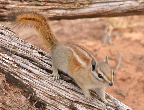 Image result for hopi chipmunk