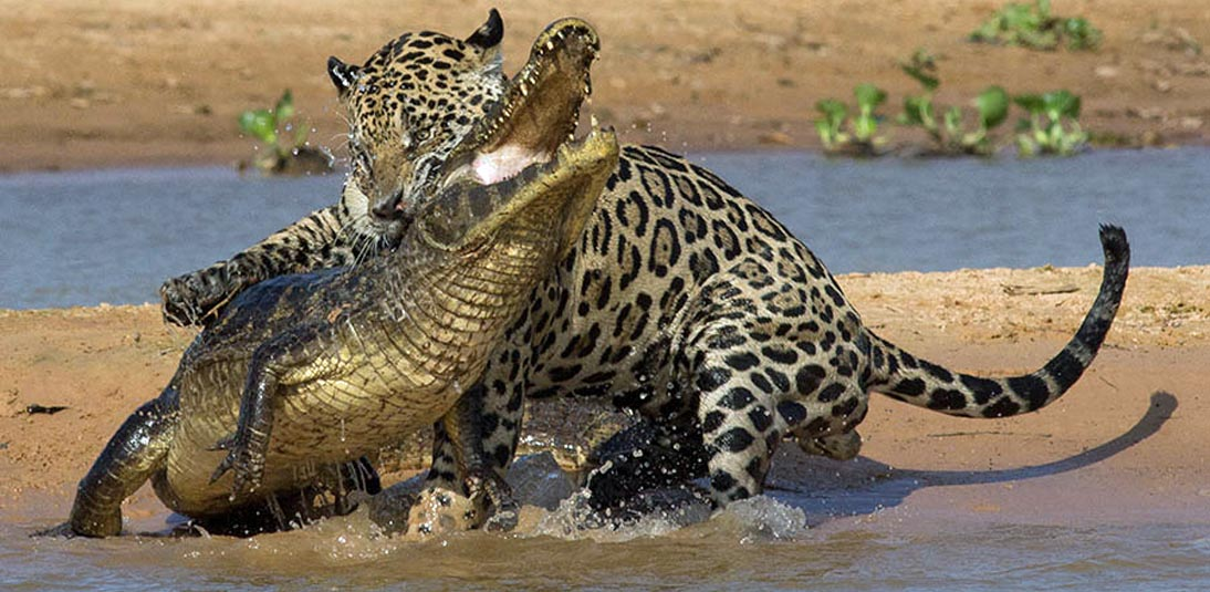 Jaguar animal eating - photo#11