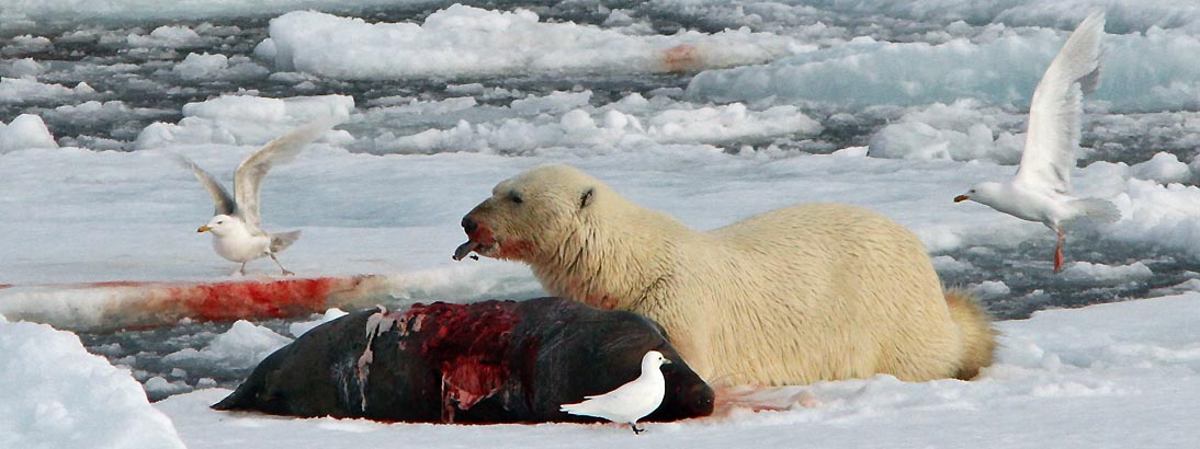 predator prey relationship polar bear and seal The arctic ocean organisms that just like whales, the only predator of sharks are humans fish are the prey of seals, polar bears, whales.
