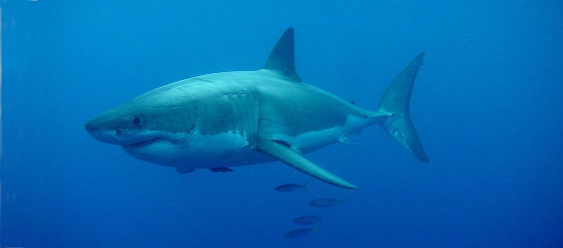 SharkGW-CHartzell-Oc2010Guad-m.jpg Shark Species Chart