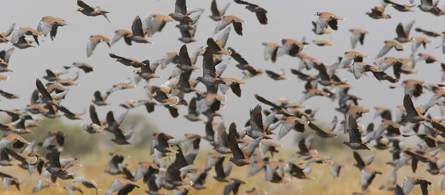 passenger pigeon flock